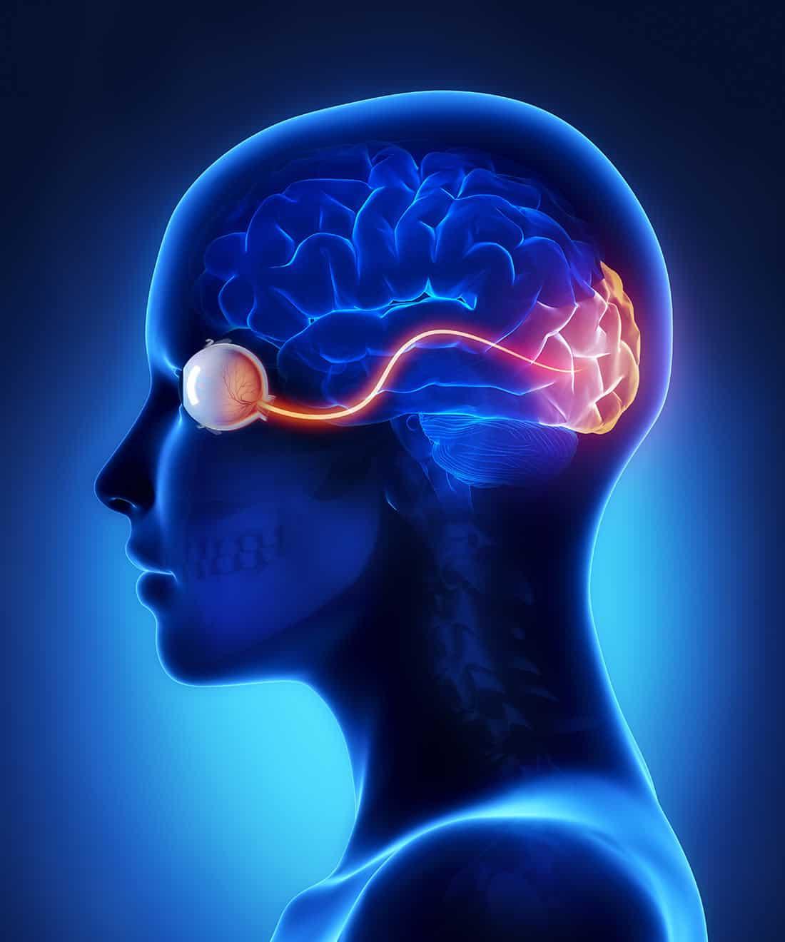 mózg, oko, nerw wzrokowy